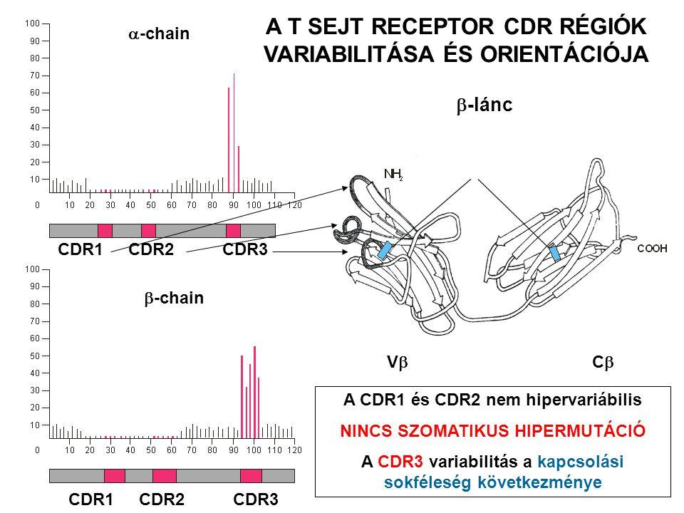 CDR1 CDR2 CDR3  -chain  -chain CDR1 CDR2 CDR3 VCVC  -lánc Diszulfid hidak A CDR1 és CDR2 nem hipervariábilis NINCS SZOMATIKUS HIPERMUTÁCIÓ A CDR3 variabilitás a kapcsolási sokféleség következménye A T SEJT RECEPTOR CDR RÉGIÓK VARIABILITÁSA ÉS ORIENTÁCIÓJA