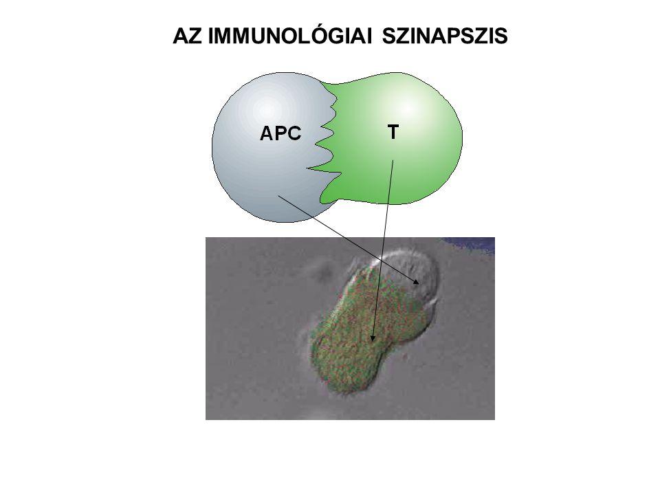 T SEJT ANTIGÉNT BEMUTATÓ SEJT CD58 CD2 ICAM-1 LFA-1 B7 CD28 CD4 JELÁTVIVŐ KOMPLEX adaptor ACTIVÁLT T SEJT ICAM – Intercellular Adhesion Molecule