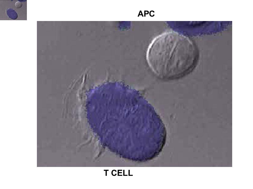 LOKALIZÁCIÓANTIGÉN FELVÉTEL MÓDJA MHC LOKALIZÁCIÓ ANTIGÉN PREZENTÁCIÓ ANTIGÉN/ KÓROKOZÓ B-sejtnyirokszövet, perifériás vér BCR- közvetített endocitózis, pinocitózis MCII/CIIV Sejtfelszín (aktiváció) kis antigén dózis kostimuláció toxinok, vírusok, baktériumok, bármely fehérje Makrofágnyirokszövet, kötőszövet, testüregek fagocitózis Fc  R, CR MCII Sejtfelszín (aktiváció) nagy antigén dózis kostimuláció intracelluláris baktériumok, egyéb patogének részecskék Éretlen DC epitélium, bőr, szövetek fagocitózis, Makro- pinocitózis, pinocitózis intracelluláris MCII kismértékűvírusok, allergének, baktériumok, lipidek, bármely fehérje Érő DCafferens nyiroknem jelentősintracelluláris CIIV kismértékű Érett DCNyirokcsomó T-sejtes terület nincssejtfelszínnagyon hatékony kostimuláció A HIVATÁSOS ANTIGÉN PREZENTÁLÓ SEJTEK