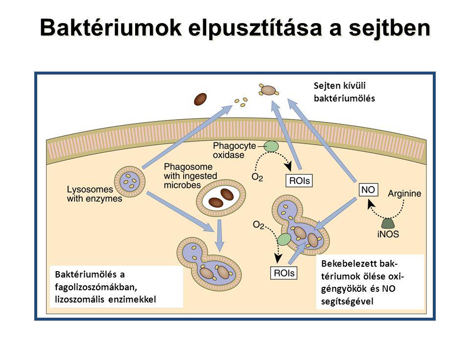 Baktériumok elpusztítása a sejtben Sejten kívüli baktériumölés Baktériumölés a fagolizoszómákban, lizoszomális enzimekkel Bekebelezett bak- tériumok ölése oxi- géngyökök és NO segítségével