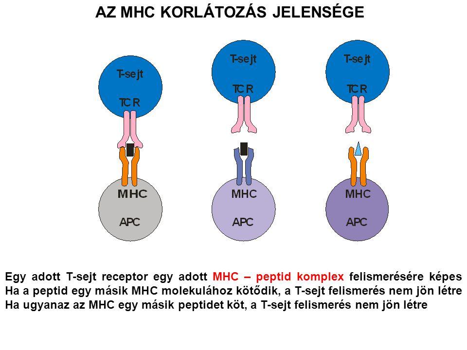 AZ MHC KORLÁTOZÁS JELENSÉGE Egy adott T-sejt receptor egy adott MHC – peptid komplex felismerésére képes Ha a peptid egy másik MHC molekulához kötődik, a T-sejt felismerés nem jön létre Ha ugyanaz az MHC egy másik peptidet köt, a T-sejt felismerés nem jön létre