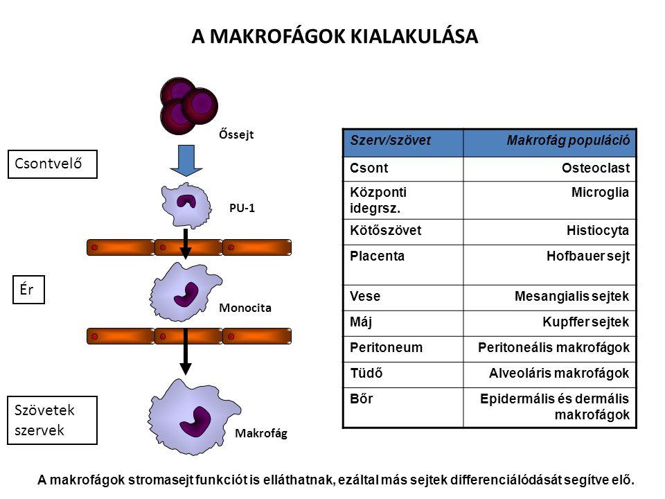 A MAKROFÁGOK RECEPTORAI, SEJTFELSZÍNI MOLEKULÁI LPS receptor (CD14) + TLR4 MHCI MHCII TLR – patogén mintázatok CR1 (CD35) CR3 (CD11b/CD18) LFA1 (CD11a/CD18) Fc  RIII (CD16) Fc  RII (CD32) Fc  RI (CD64) Ag + IgG Komplex Mannóz receptor Scavanger receptor peroxidáz hidroláz