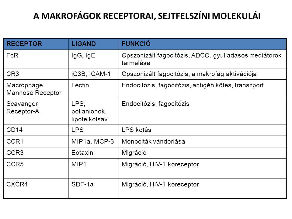 RECEPTORLIGANDFUNKCIÓ FcRIgG, IgEOpszonizált fagocitózis, ADCC, gyulladásos mediátorok termelése CR3iC3B, ICAM-1Opszonizált fagocitózis, a makrofág aktivációja Macrophage Mannose Receptor LectinEndocitózis, fagocitózis, antigén kötés, transzport Scavanger Receptor-A LPS, polianionok, lipoteikolsav Endocitózis, fagocitózis CD14LPSLPS kötés CCR1MIP1a, MCP-3Monociták vándorlása CCR3EotaxinMigráció CCR5MIP1Migráció, HIV-1 koreceptor CXCR4SDF-1aMigráció, HIV-1 koreceptor A MAKROFÁGOK RECEPTORAI, SEJTFELSZÍNI MOLEKULÁI