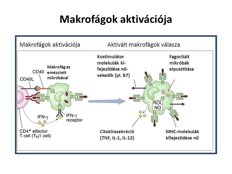 IFN  IL-12 IL-18 Th 1 sejt NK sejt Gyulladásos citokinek Antimikrobiális anyagok Alternatív aktiváció: Mannóz receptor – endocitózis Th2 kemokinek NOS gátlás Szöveti regenerálódás IL-4 IL-13 Th 2 sejt Mikroorganizmusok TNF IL-6IL-12 IL-10 T sejt APC Inaktiváció Makrofágok aktivációja Gyulladási citokinek
