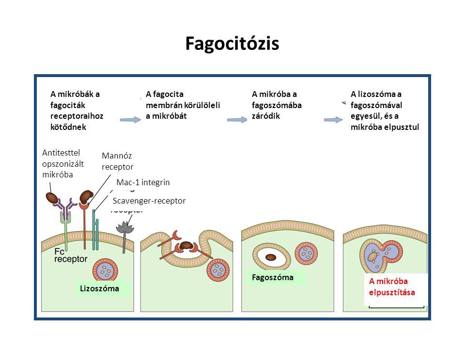 Fagocitózis