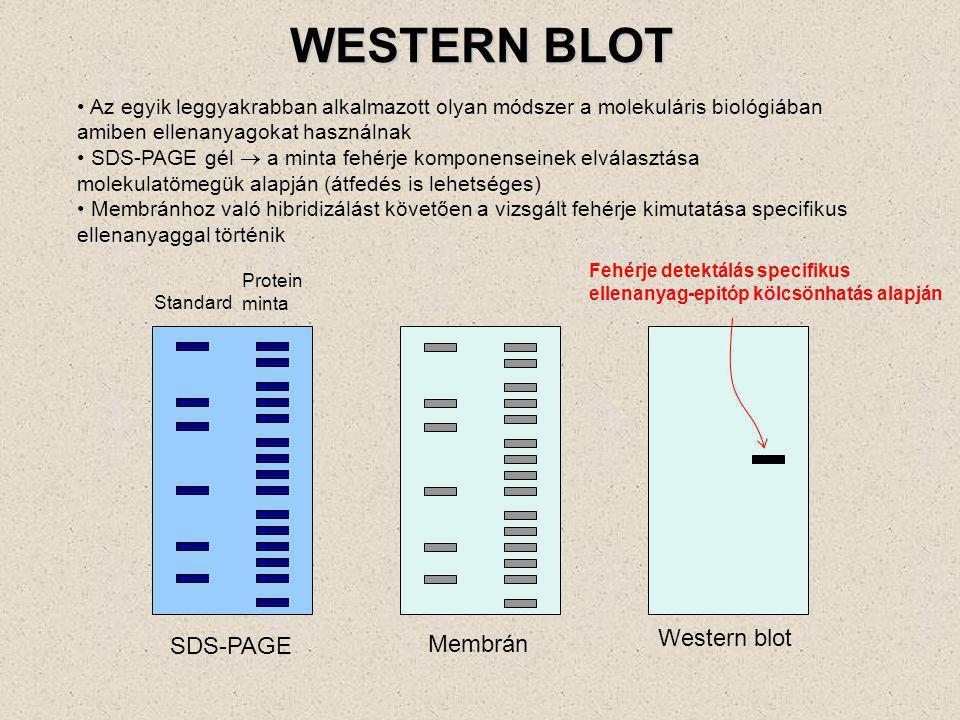 Segítségével egy adott fehérje jelenléte kimutatható a mintában Az egymástól elektroforézissel elszeparált fehérjéket /Nátrium-Dodecyl Szulfát-Polyacrylamid Gélelektroforézis (SDS-PAGE)/, membránra transzferálják Primer ellenanyagot (monoklonális vagy poliklonális) használnak a vizsgált fehérje kimutatásához Enzimmel (pl.