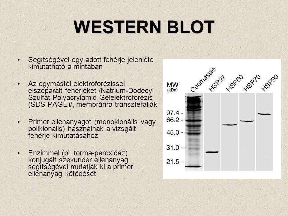 Aktin mikrofilamentek kimutatása (TRITC) Lehetőség van részletes morfológiai információk kinyerésére (lásd a további ábrákat is)