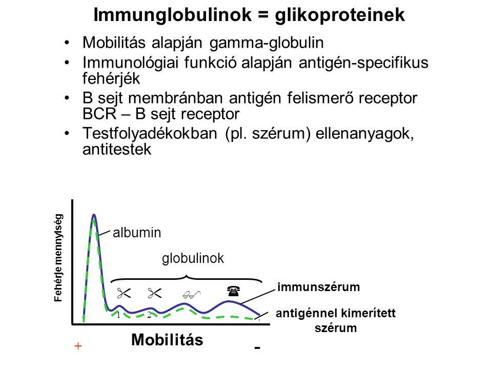 Mobilitás alapján gamma-globulin Immunológiai funkció alapján antigén-specifikus fehérjék B sejt membránban antigén felismerő receptor BCR – B sejt re