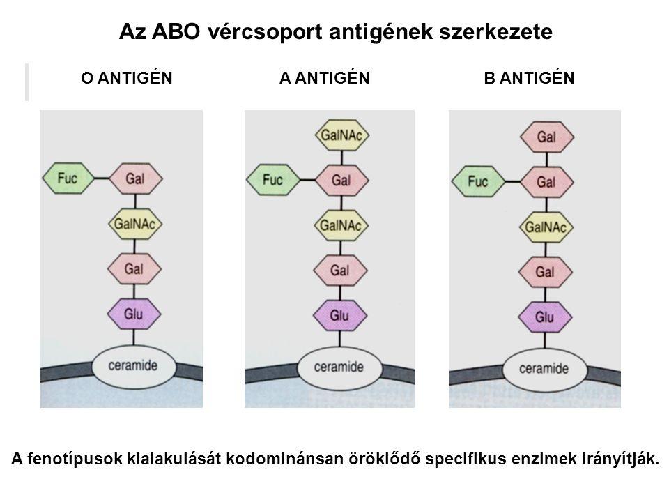 Az ABO vércsoport antigének szerkezete A fenotípusok kialakulását kodominánsan öröklődő specifikus enzimek irányítják. O ANTIGÉNA ANTIGÉNB ANTIGÉN
