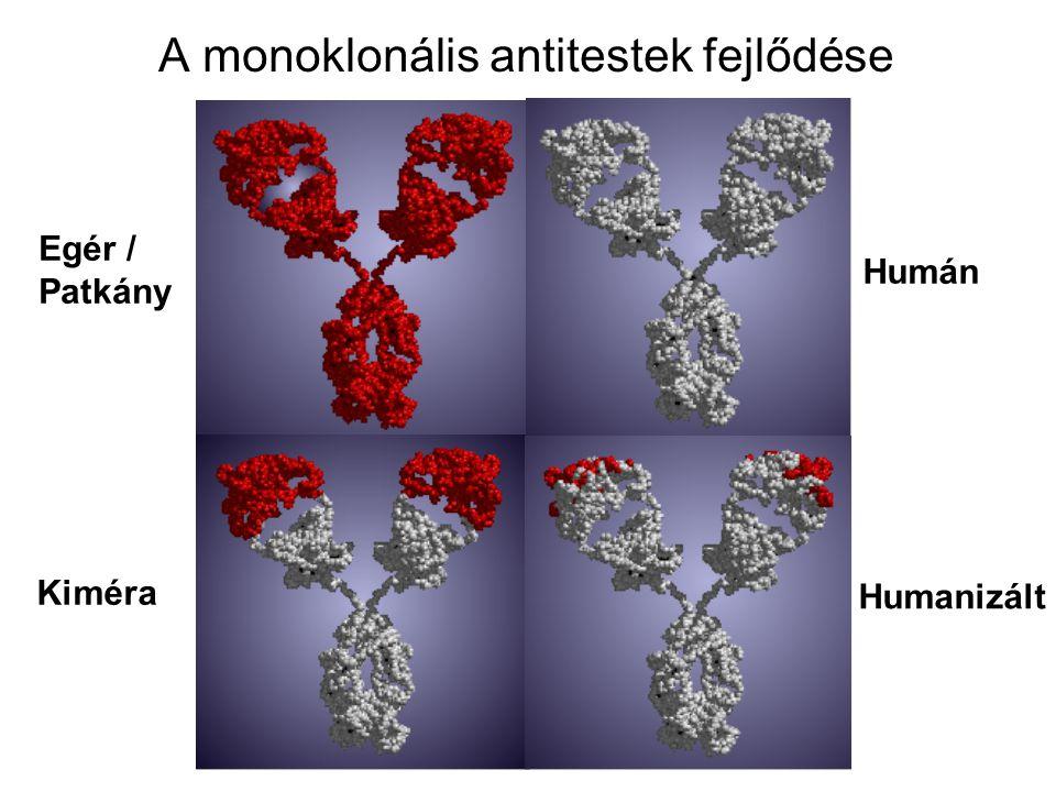 A monoklonális antitestek fejlődése Egér / Patkány Kiméra Humán Humanizált