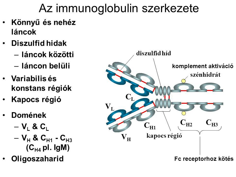 Az immunoglobulin szerkezete Könnyű és nehéz láncok Diszulfid hidak –láncok közötti –láncon belüli C H1 VLVL CLCL VHVH C H2 C H3 kapocs régió szénhidr