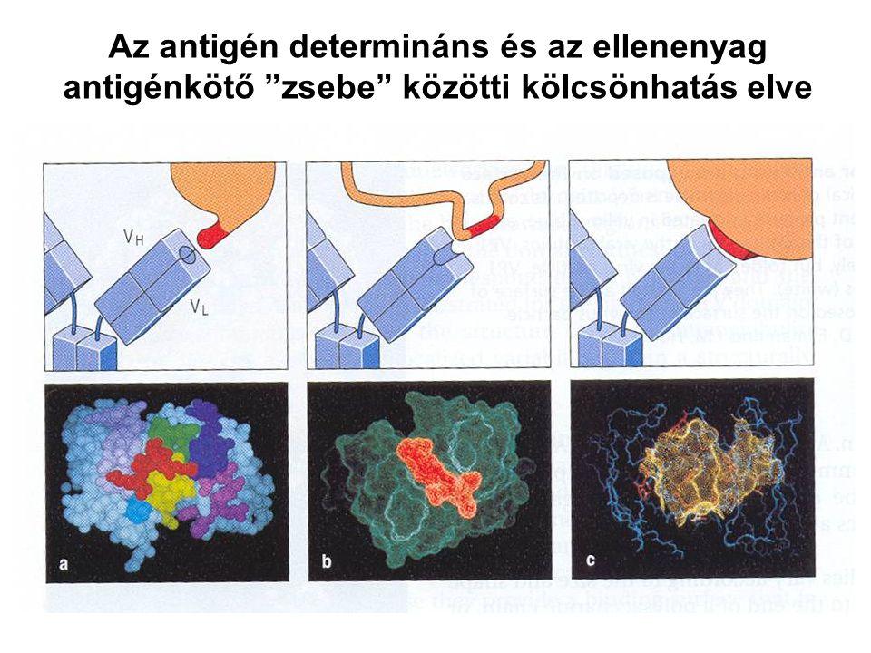 Pepszin Fc peptidek F(ab') 2 Immunoglobulin fragmentek: Struktúra/Funkció összefüggések F(ab')2 –Antigén kötés bivalens.