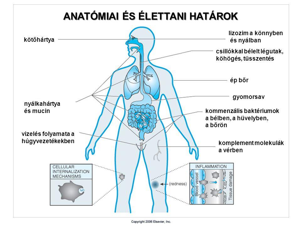 kötőhártya nyálkahártya és mucin vizelés folyamata a húgyvezetékekben lizozim a könnyben és nyálban csillókkal bélelt légutak, köhögés, tüsszentés ép bőr gyomorsav kommenzális baktériumok a bélben, a hüvelyben, a bőrön komplement molekulák a vérben ANATÓMIAI ÉS ÉLETTANI HATÁROK