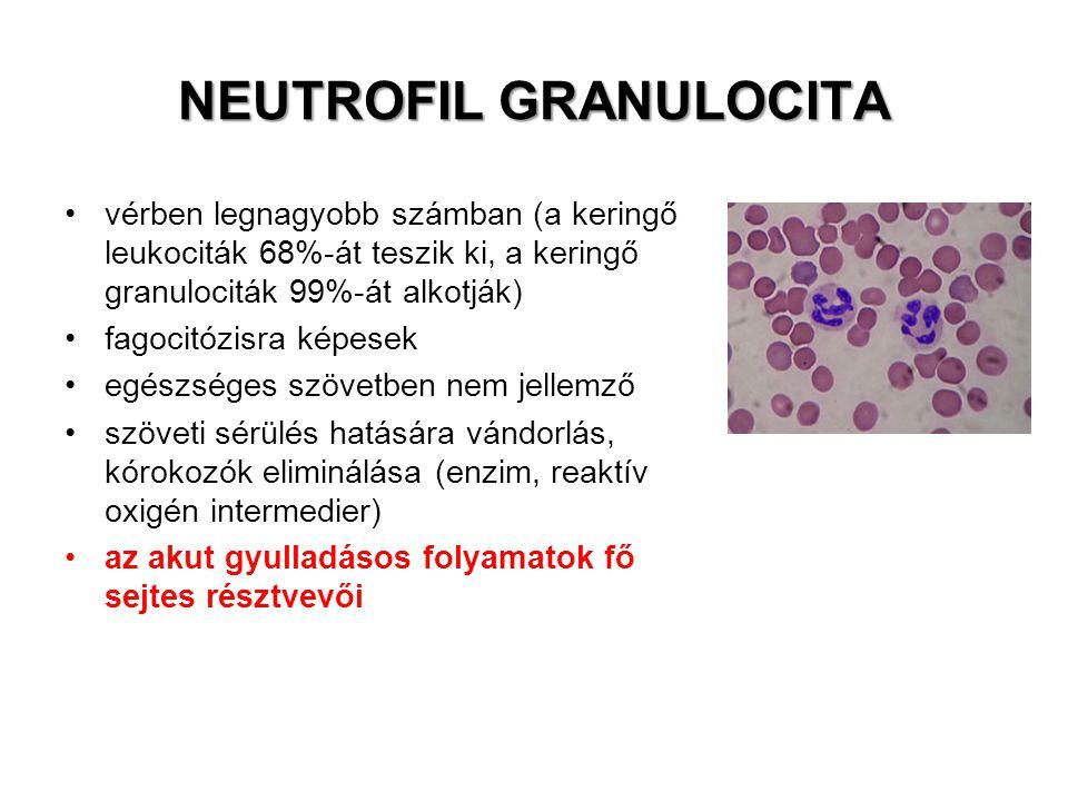 NEUTROFIL GRANULOCITA vérben legnagyobb számban (a keringő leukociták 68%-át teszik ki, a keringő granulociták 99%-át alkotják) fagocitózisra képesek egészséges szövetben nem jellemző szöveti sérülés hatására vándorlás, kórokozók eliminálása (enzim, reaktív oxigén intermedier) az akut gyulladásos folyamatok fő sejtes résztvevői