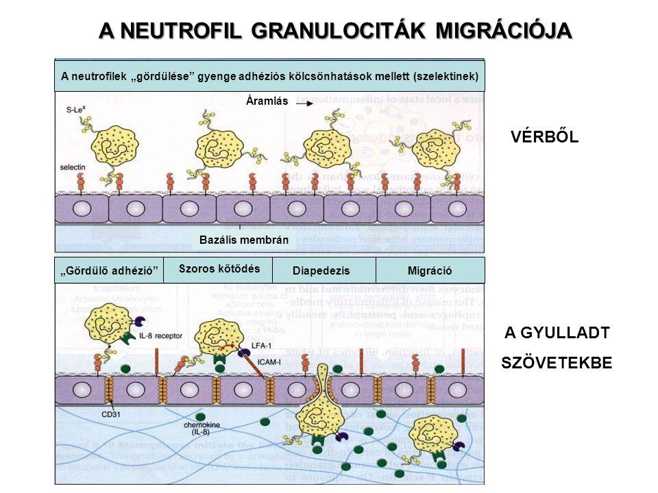 """A NEUTROFIL GRANULOCITÁK MIGRÁCIÓJA VÉRBŐL A GYULLADT SZÖVETEKBE Áramlás Bazális membrán A neutrofilek """"gördülése gyenge adhéziós kölcsönhatások mellett (szelektinek) """"Gördülő adhézió DiapedezisMigráció Szoros kőtődés"""