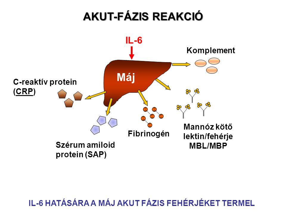 Máj IL-6 Mannóz kötő lektin/fehérje MBL/MBP Fibrinogén Szérum amiloid protein (SAP) C-reaktív protein (CRP) AKUT-FÁZIS REAKCIÓ IL-6 HATÁSÁRA A MÁJ AKUT FÁZIS FEHÉRJÉKET TERMEL Komplement