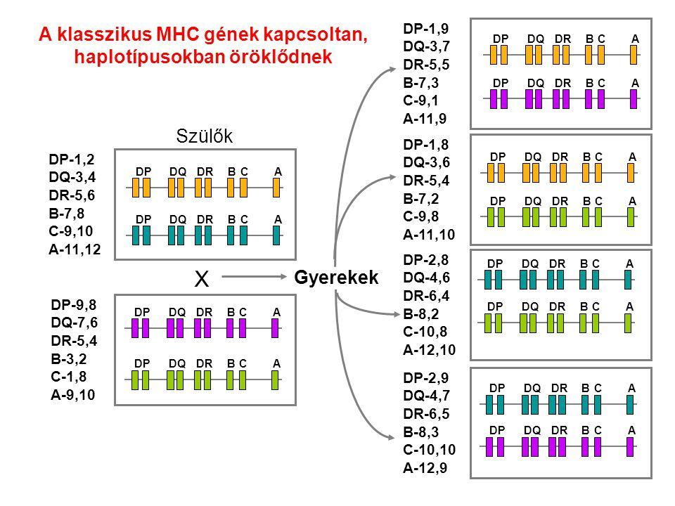 A klasszikus MHC gének kapcsoltan, haplotípusokban öröklődnek BCADPDQDR BCADPDQDR BCADPDQDR BCADPDQDR X Szülők DP-1,2 DQ-3,4 DR-5,6 B-7,8 C-9,10 A-11,12 DP-9,8 DQ-7,6 DR-5,4 B-3,2 C-1,8 A-9,10 DP-1,8 DQ-3,6 DR-5,4 B-7,2 C-9,8 A-11,10 DP-1,9 DQ-3,7 DR-5,5 B-7,3 C-9,1 A-11,9 DP-2,8 DQ-4,6 DR-6,4 B-8,2 C-10,8 A-12,10 DP-2,9 DQ-4,7 DR-6,5 B-8,3 C-10,10 A-12,9 BCADPDQDR BCADPDQDR BCADPDQDR BCADPDQDR BCADPDQDR BCADPDQDR BCADPDQDR BCADPDQDR Gyerekek