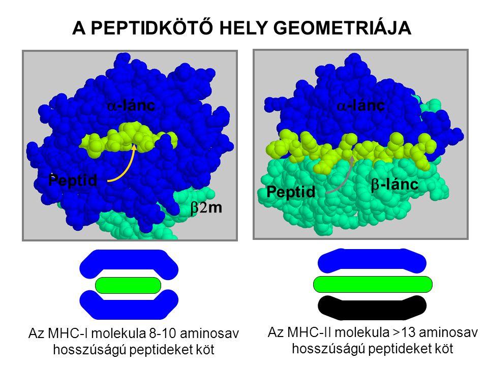 Az MHC-I molekula 8-10 aminosav hosszúságú peptideket köt A PEPTIDKÖTŐ HELY GEOMETRIÁJA  m  -lánc Peptid  -lánc  -lánc Peptid Az MHC-II molekula