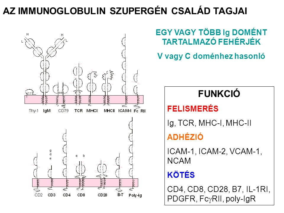 AZ IMMUNOGLOBULIN SZUPERGÉN CSALÁD TAGJAI FUNKCIÓ FELISMERÉS Ig, TCR, MHC-I, MHC-II ADHÉZIÓ ICAM-1, ICAM-2, VCAM-1, NCAM KÖTÉS CD4, CD8, CD28, B7, IL-1RI, PDGFR, Fc  RII, poly-IgR EGY VAGY TÖBB Ig DOMÉNT TARTALMAZÓ FEHÉRJÉK V vagy C doménhez hasonló