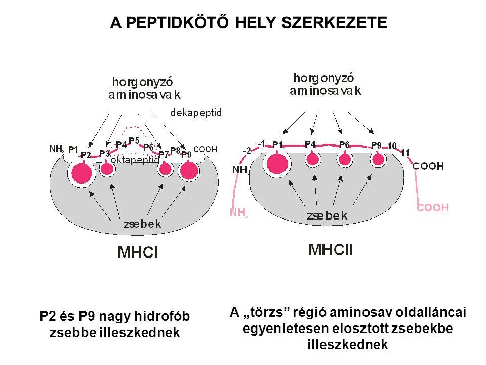 """A PEPTIDKÖTŐ HELY SZERKEZETE P2 és P9 nagy hidrofób zsebbe illeszkednek A """"törzs régió aminosav oldalláncai egyenletesen elosztott zsebekbe illeszkednek"""