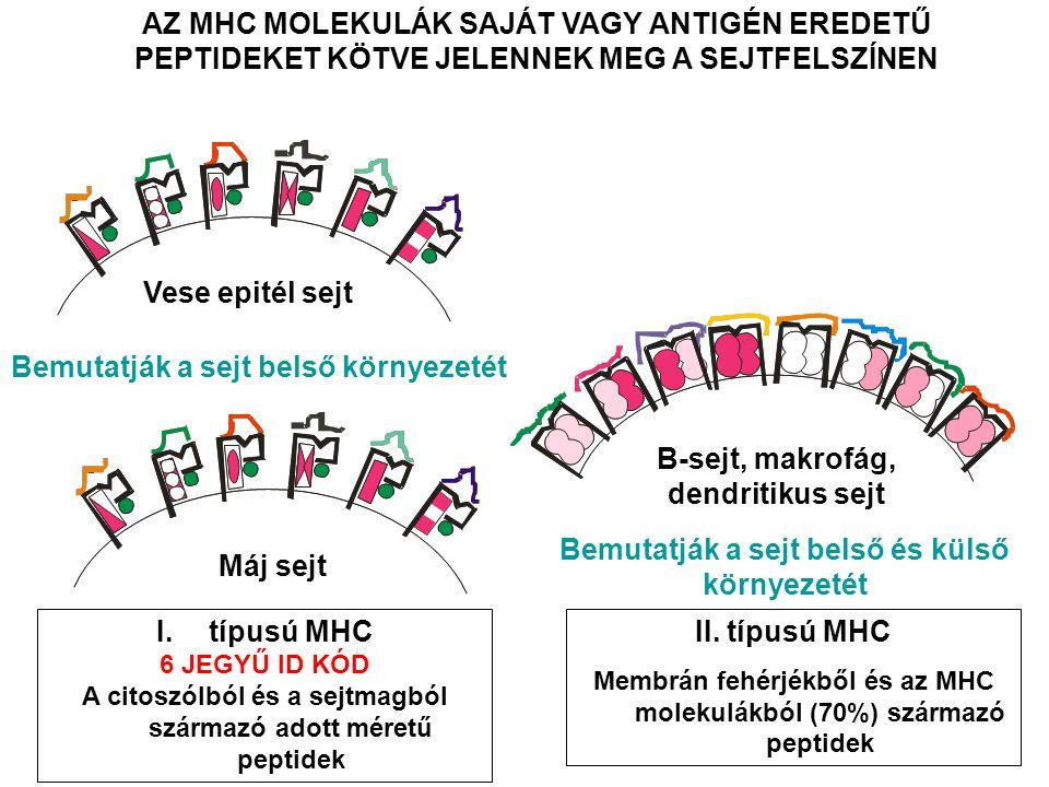 AZ MHC MOLEKULÁK SAJÁT VAGY ANTIGÉN EREDETŰ PEPTIDEKET KÖTVE JELENNEK MEG A SEJTFELSZÍNEN B-sejt, makrofág, dendritikus sejt Vese epitél sejt Máj sejt Bemutatják a sejt belső környezetét Bemutatják a sejt belső és külső környezetét I.típusú MHC 6 JEGYŰ ID KÓD A citoszólból és a sejtmagból származó adott méretű peptidek II.