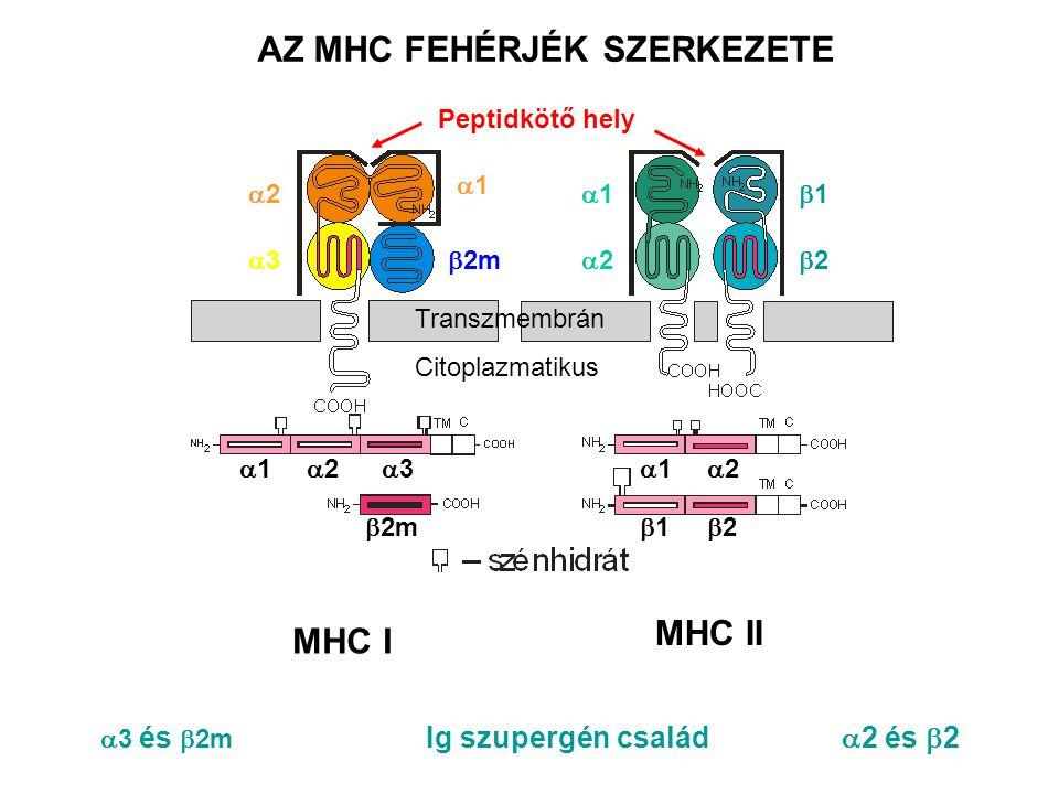 AZ MHC FEHÉRJÉK SZERKEZETE  3 és  2m Ig szupergén család  2 és  2 33  2m 22 22 11 11 22 11 11 22 33 11 22 11 22 Transzmembrán Citoplazmatikus Peptidkötő hely MHC I MHC II