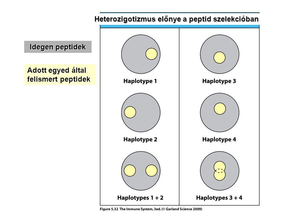 Heterozigotizmus előnye a peptid szelekcióban Idegen peptidek Adott egyed által felismert peptidek