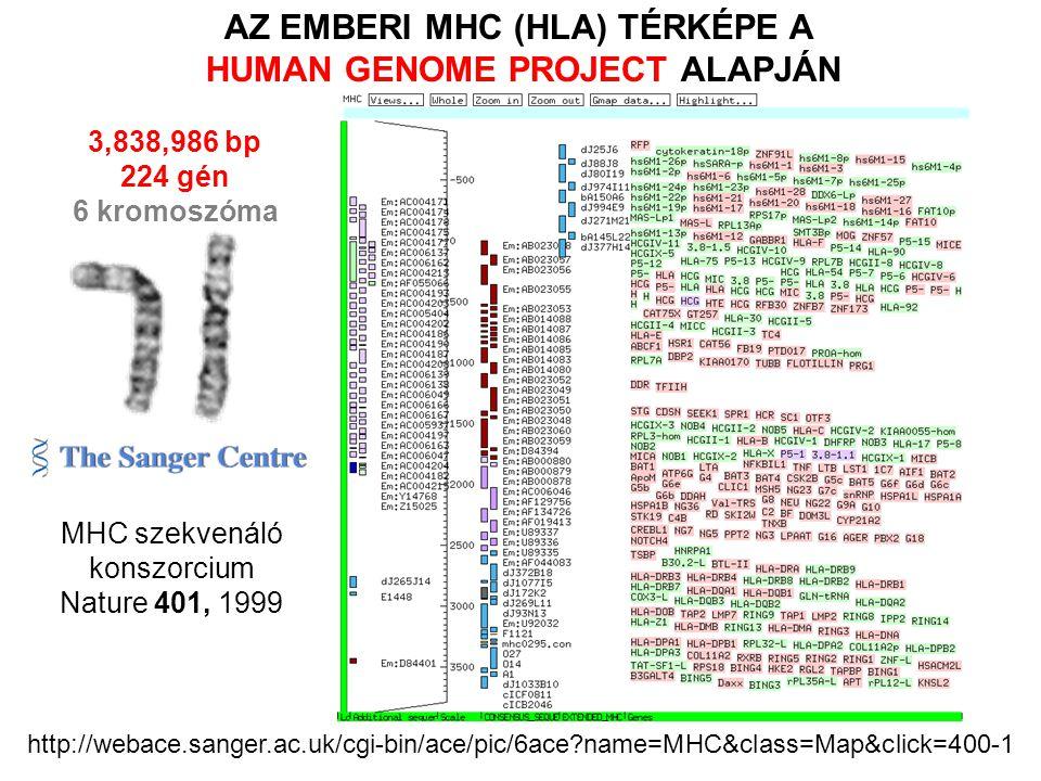 3,838,986 bp 224 gén 6 kromoszóma http://webace.sanger.ac.uk/cgi-bin/ace/pic/6ace?name=MHC&class=Map&click=400-1 MHC szekvenáló konszorcium Nature 401, 1999 AZ EMBERI MHC (HLA) TÉRKÉPE A HUMAN GENOME PROJECT ALAPJÁN