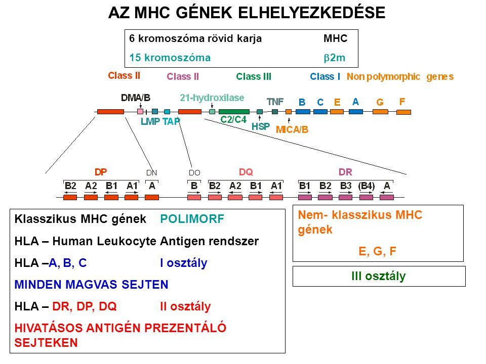 Klasszikus MHC gének POLIMORF HLA – Human Leukocyte Antigen rendszer HLA –A,B, C I osztály MINDEN MAGVAS SEJTEN HLA – DR, DP, DQII osztály HIVATÁSOS ANTIGÉN PREZENTÁLÓ SEJTEKEN Nem- klasszikus MHC gének E, G, F 6 kromoszóma rövid karjaMHC 15 kromoszóma  2m AZ MHC GÉNEK ELHELYEZKEDÉSE III osztály