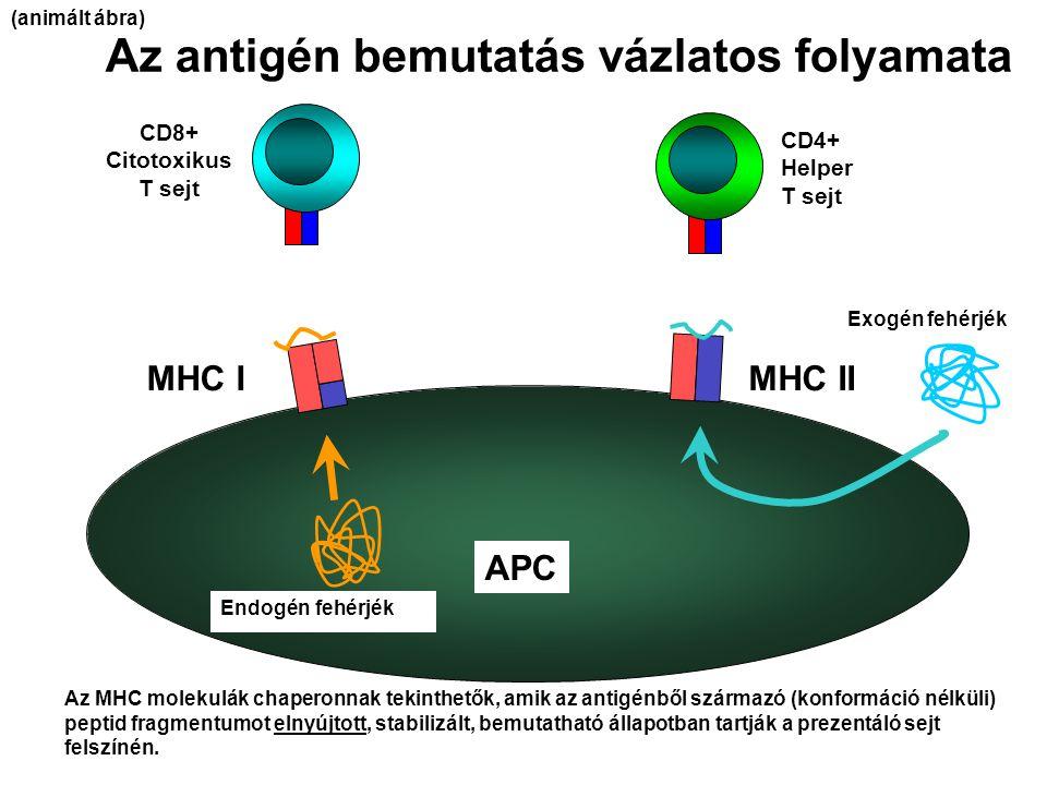 Az antigén bemutatás vázlatos folyamata APC MHC IMHC II CD8+ Citotoxikus T sejt CD4+ Helper T sejt Endogén fehérjék Exogén fehérjék Az MHC molekulák c
