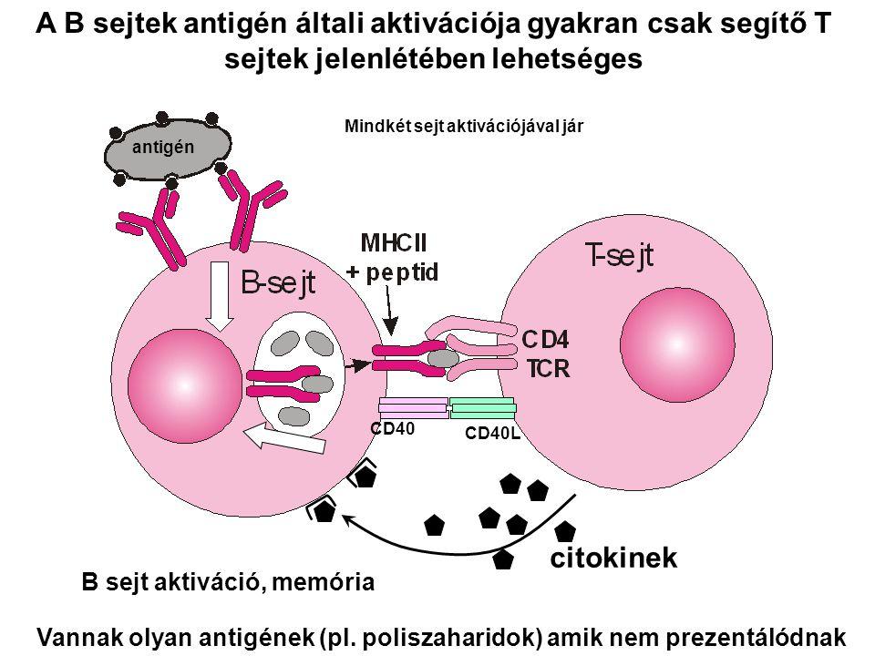 A B sejtek antigén általi aktivációja gyakran csak segítő T sejtek jelenlétében lehetséges Vannak olyan antigének (pl. poliszaharidok) amik nem prezen