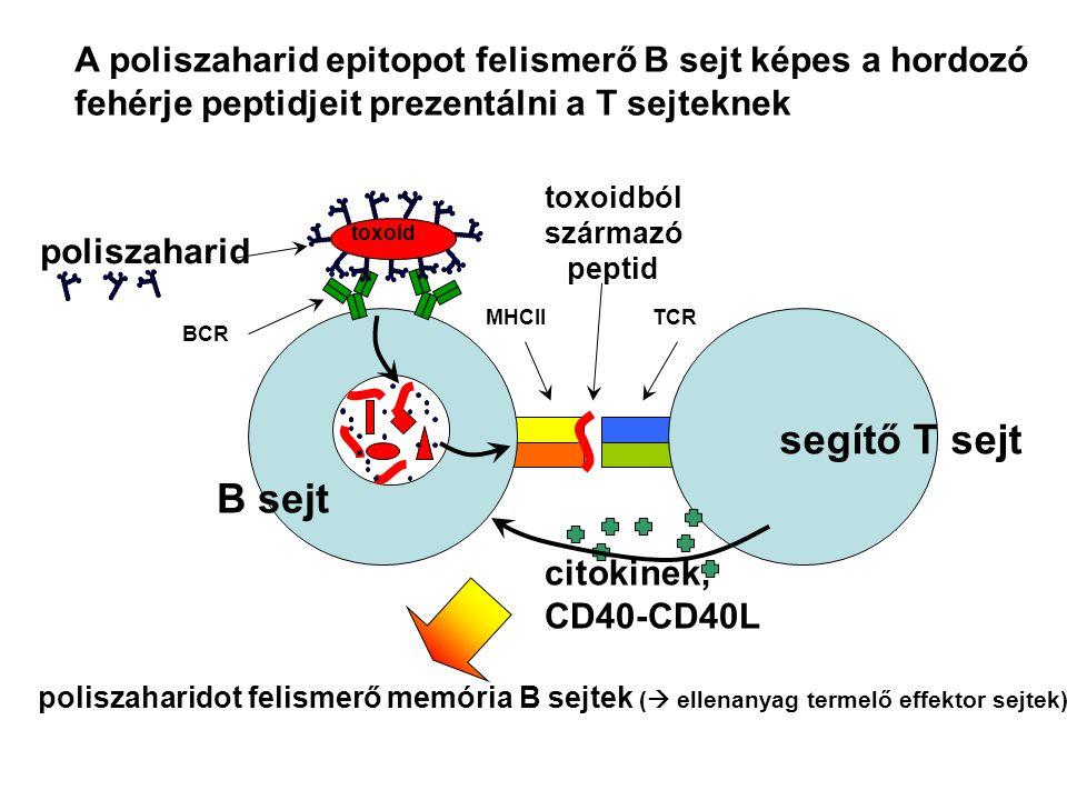 B sejt poliszaharid segítő T sejt BCR TCRMHCII citokinek, CD40-CD40L toxoid toxoidból származó peptid A poliszaharid epitopot felismerő B sejt képes a