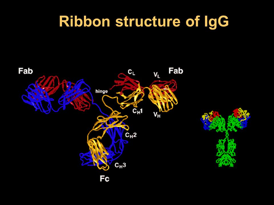 Ribbon structure of IgG