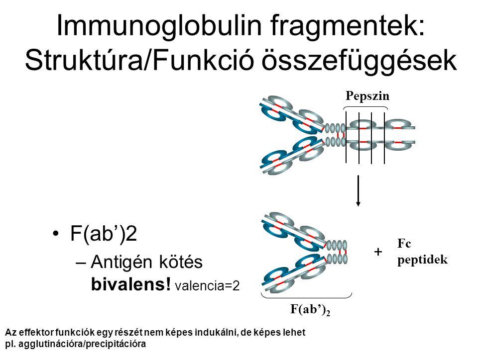 Pepszin Fc peptidek F(ab') 2 Immunoglobulin fragmentek: Struktúra/Funkció összefüggések F(ab')2 –Antigén kötés bivalens! valencia=2 + Az effektor funk