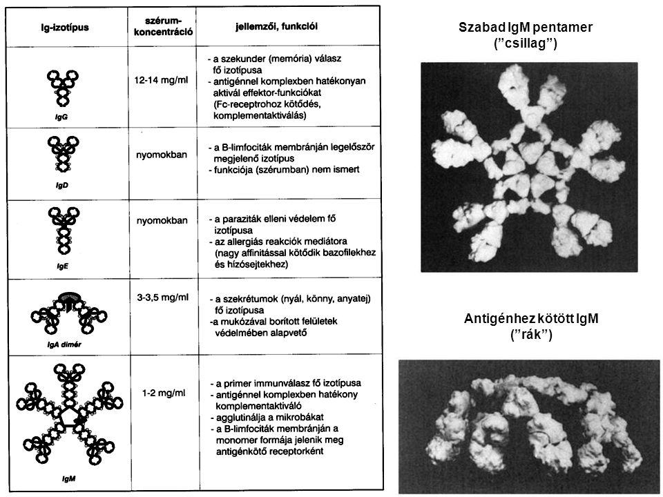 """Szabad IgM pentamer (""""csillag"""") Antigénhez kötött IgM (""""rák"""")"""