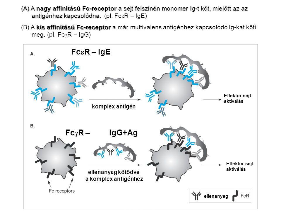 komplex antigén ellenanyag kötődve a komplex antigénhez ellenanyag Effektor sejt aktiválás Effektor sejt aktiválás (A) A nagy affinitású Fc-receptor a
