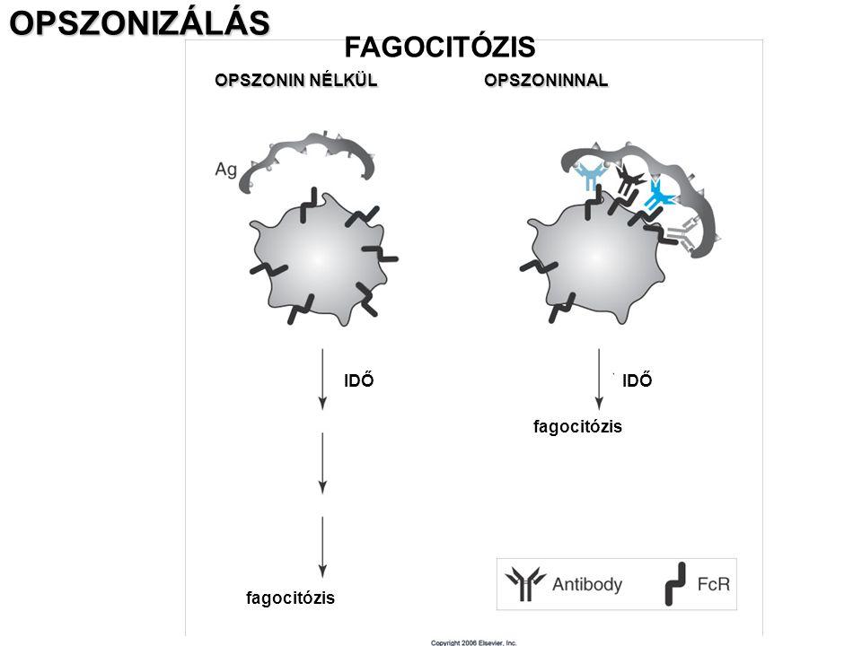 OPSZONIZÁLÁS OPSZONIN NÉLKÜL OPSZONINNAL IDŐ fagocitózis FAGOCITÓZIS