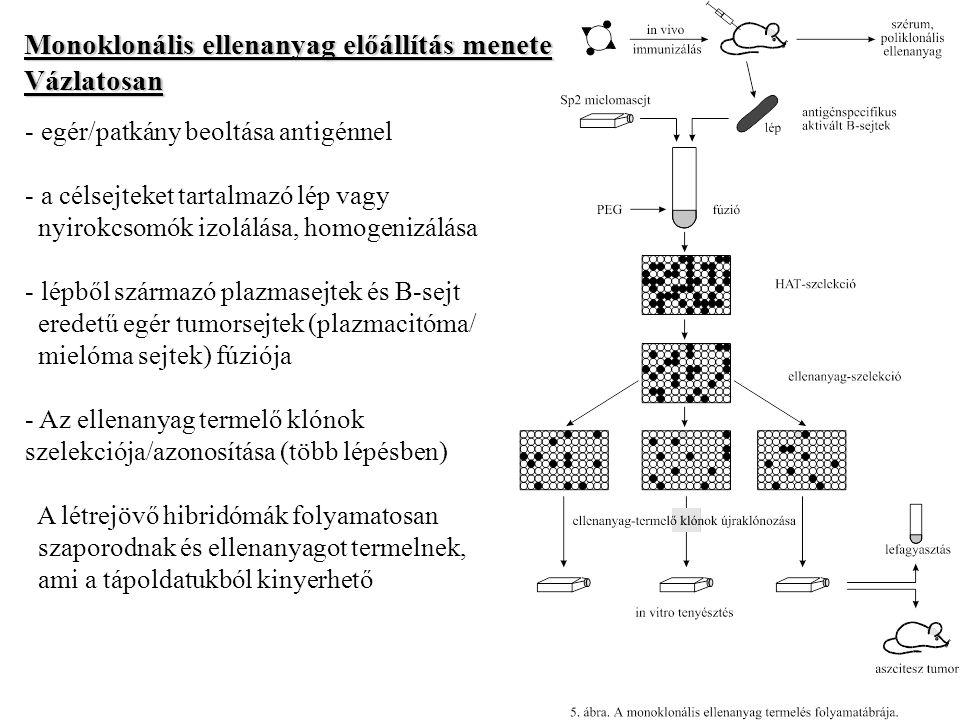 Monoklonális ellenanyag előállítás menete Vázlatosan - egér/patkány beoltása antigénnel - a célsejteket tartalmazó lép vagy nyirokcsomók izolálása, ho