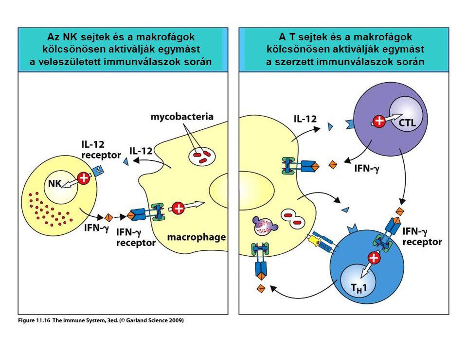 Az NK sejtek és a makrofágok kölcsönösen aktiválják egymást a veleszületett immunválaszok során A T sejtek és a makrofágok kölcsönösen aktiválják egymást a szerzett immunválaszok során