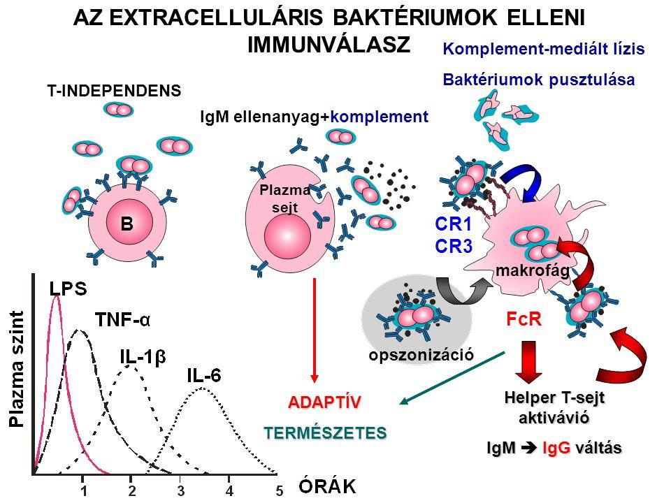 AZ EXTRACELLULÁRIS BAKTÉRIUMOK ELLENI IMMUNVÁLASZ T-INDEPENDENS IgM ellenanyag+komplement Komplement-mediált lízis Baktériumok pusztulása B Plazma sej
