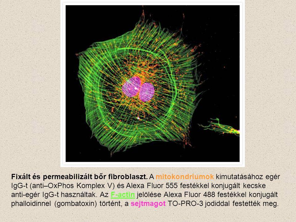 Fixált és permeabilizált bőr fibroblaszt. A mitokondriumok kimutatásához egér IgG-t (anti–OxPhos Komplex V) és Alexa Fluor 555 festékkel konjugált kec
