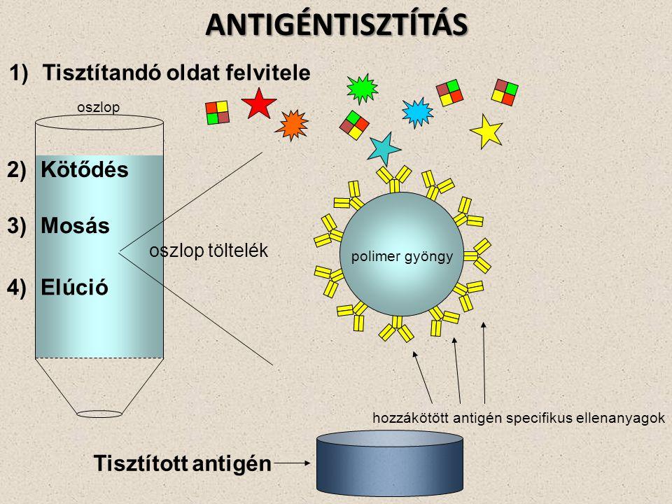 hozzákötött antigén specifikus ellenanyagok oszlop oszlop töltelék Tisztított antigénANTIGÉNTISZTÍTÁS 1)Tisztítandó oldat felvitele 2)Kötődés 3)Mosás