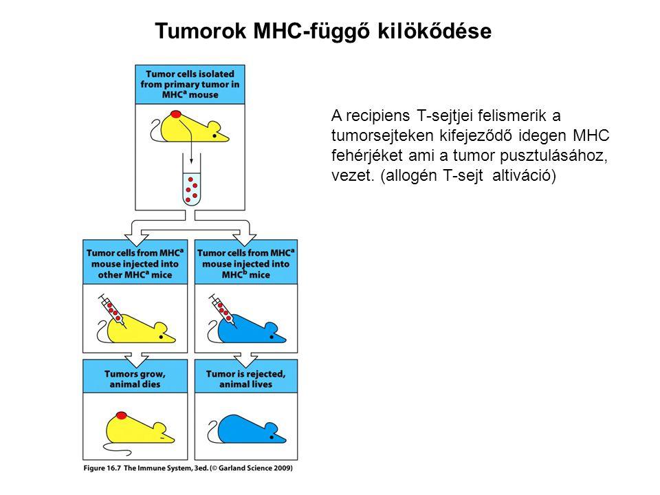 Tumorok MHC-függő kilökődése A recipiens T-sejtjei felismerik a tumorsejteken kifejeződő idegen MHC fehérjéket ami a tumor pusztulásához, vezet.