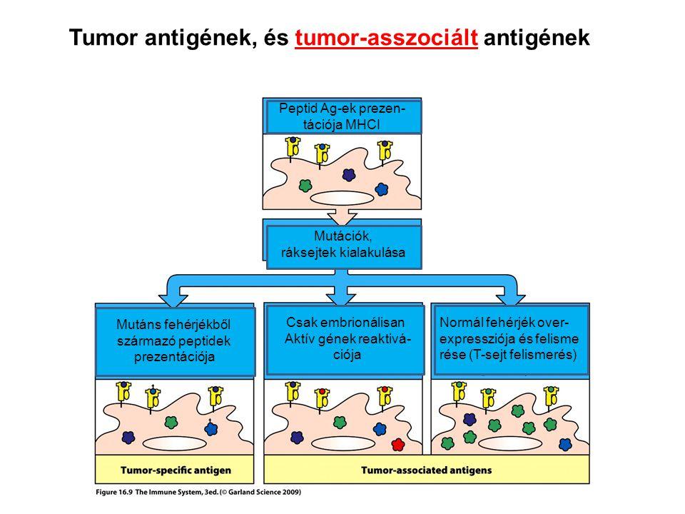 Tumor antigének, és tumor-asszociált antigének Mutáns fehérjékből származó peptidek prezentációja Normál fehérjék over- expressziója és felisme rése (T-sejt felismerés) Csak embrionálisan Aktív gének reaktivá- ciója Peptid Ag-ek prezen- tációja MHCI Mutációk, ráksejtek kialakulása