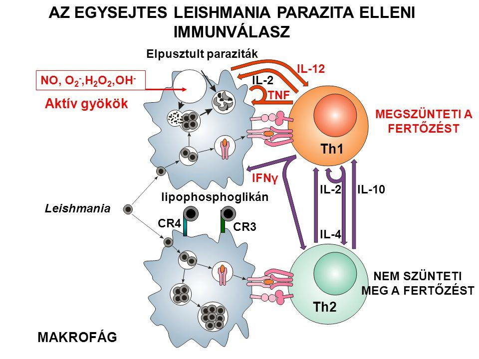 AZ EGYSEJTES LEISHMANIA PARAZITA ELLENI IMMUNVÁLASZ Elpusztult paraziták IL-12 TNF IL-2 Th1 Th2 IL-2IL-10 IL-4 IFNγ Leishmania NO, O 2 -,H 2 O 2,OH -