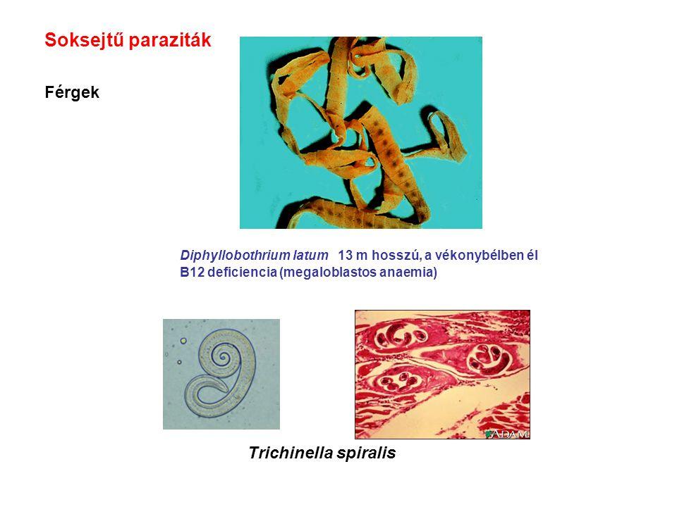Soksejtű paraziták Férgek Diphyllobothrium latum 13 m hosszú, a vékonybélben él B12 deficiencia (megaloblastos anaemia) Trichinella spiralis