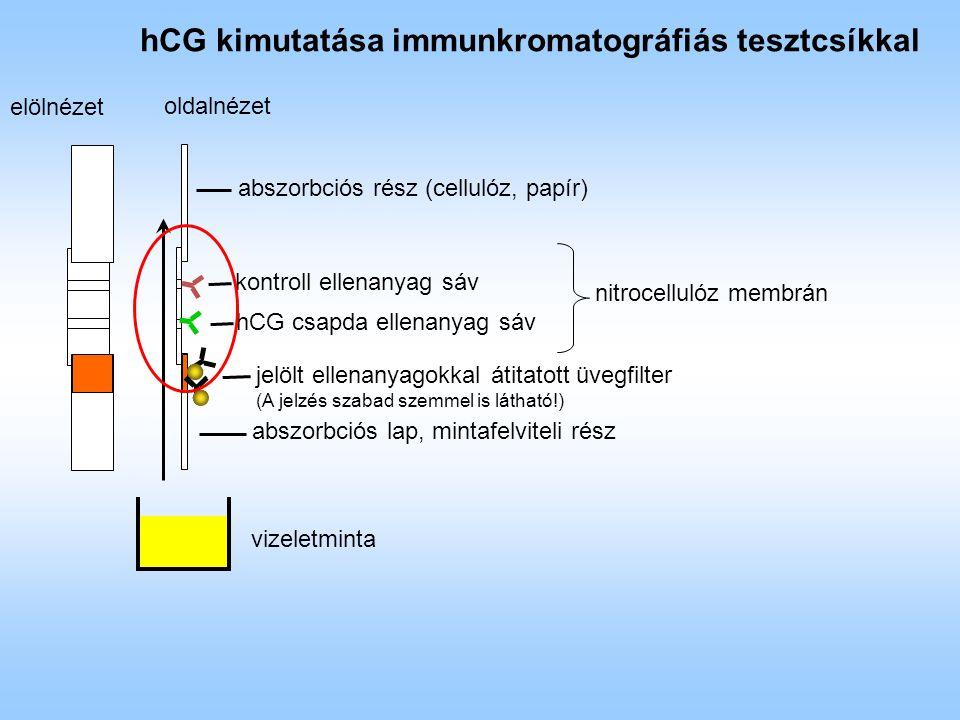 hCG kimutatása immunkromatográfiás tesztcsíkkal nitrocellulóz membrán jelölt ellenanyagokkal átitatott üvegfilter (A jelzés szabad szemmel is látható!) elölnézet oldalnézet hCG csapda ellenanyag sáv kontroll ellenanyag sáv abszorbciós rész (cellulóz, papír) abszorbciós lap, mintafelviteli rész vizeletminta