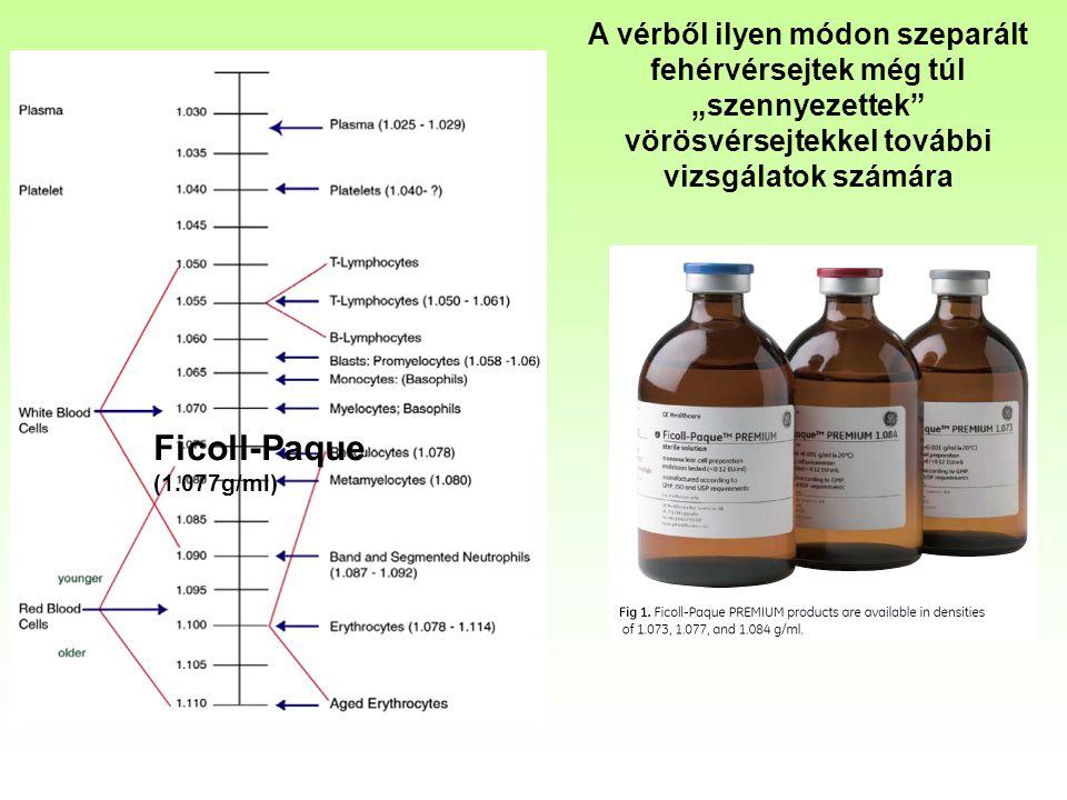 """A vérből ilyen módon szeparált fehérvérsejtek még túl """"szennyezettek vörösvérsejtekkel további vizsgálatok számára Ficoll-Paque (1.077g/ml)"""