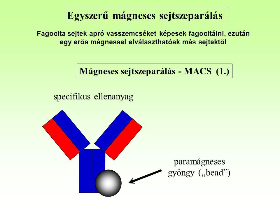 """Mágneses sejtszeparálás - MACS (1.) paramágneses gyöngy (""""bead ) specifikus ellenanyag Egyszerű mágneses sejtszeparálás Fagocita sejtek apró vasszemcséket képesek fagocitálni, ezután egy erős mágnessel elválaszthatóak más sejtektől"""