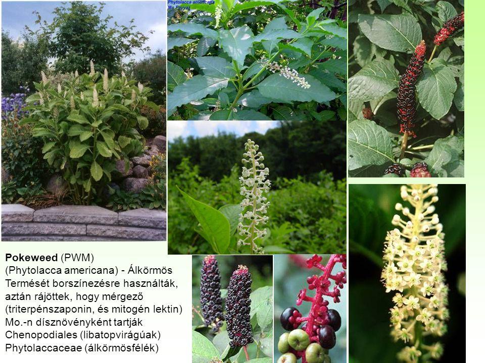 Pokeweed (PWM) (Phytolacca americana) - Álkörmös Termését borszínezésre használták, aztán rájöttek, hogy mérgező (triterpénszaponin, és mitogén lektin) Mo.-n dísznövényként tartják Chenopodiales (libatopvirágúak) Phytolaccaceae (álkörmösfélék)